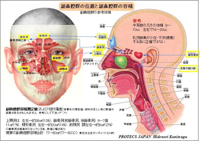 副鼻腔群の位置と容量図